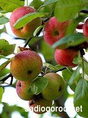 Секрет своевременного сбора яблок