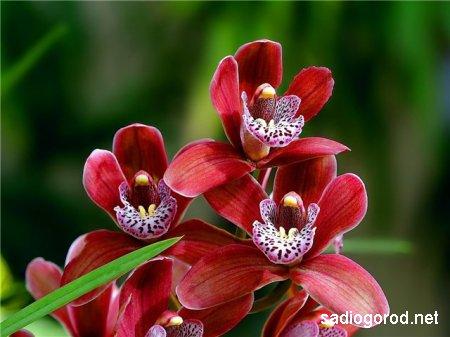 Орхидеи – капризные цветы