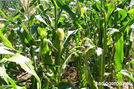 Защита грядок от ветра при помощи кукурузы