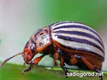 Традиционные способы борьбы с колорадским жуком
