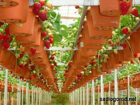 Заработай на выращивании клубники