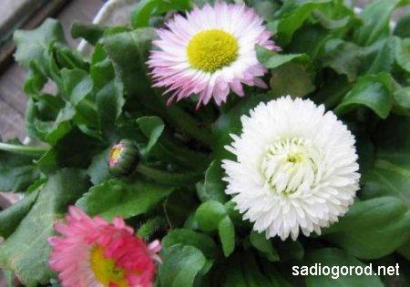 Маргаритки - весенний праздник