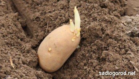 Как улучшить почву для выращивания картофеля в весенний период?